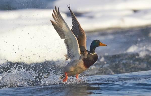 Перелётные-птицы-Описания-виды-и-названия-перелётных-птиц-9