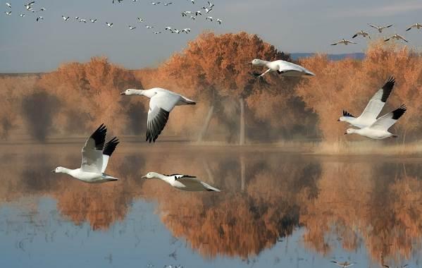 Перелётные-птицы-Описания-виды-и-названия-перелётных-птиц