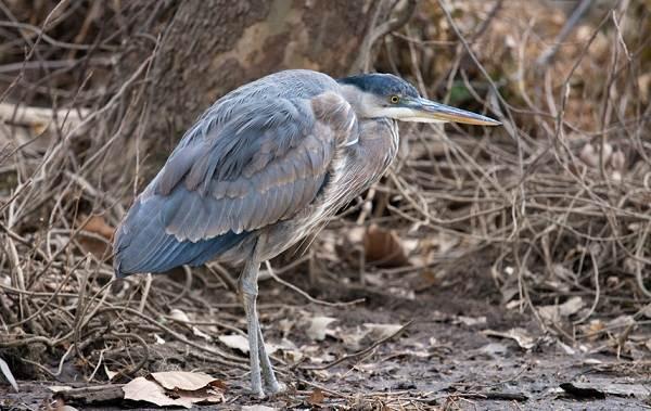 Птицы-болот-Описание-особенности-и-названия-птиц-живущих-на-болоте-11