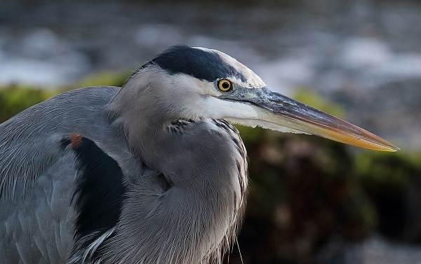 Птицы-болот-Описание-особенности-и-названия-птиц-живущих-на-болоте-12