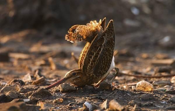 Птицы-болот-Описание-особенности-и-названия-птиц-живущих-на-болоте-13