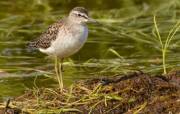 Птицы-болот-Описание-особенности-и-названия-птиц-живущих-на-болоте-14