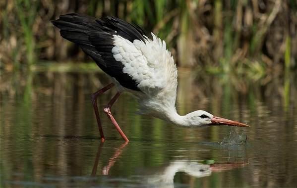Птицы-болот-Описание-особенности-и-названия-птиц-живущих-на-болоте-19