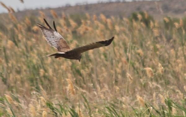 Птицы-болот-Описание-особенности-и-названия-птиц-живущих-на-болоте-27