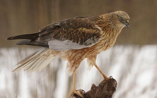 Птицы-болот-Описание-особенности-и-названия-птиц-живущих-на-болоте-28