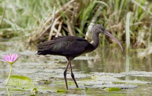 Птицы-болот-Описание-особенности-и-названия-птиц-живущих-на-болоте-3