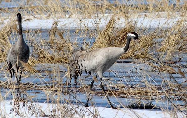 Птицы-болот-Описание-особенности-и-названия-птиц-живущих-на-болоте-32