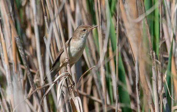Птицы-болот-Описание-особенности-и-названия-птиц-живущих-на-болоте-35
