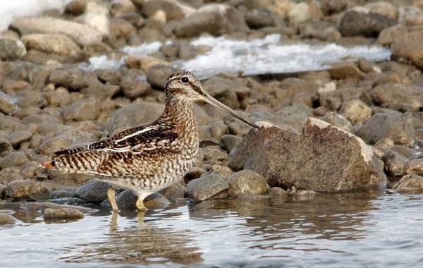 Птицы-болот-Описание-особенности-и-названия-птиц-живущих-на-болоте-37