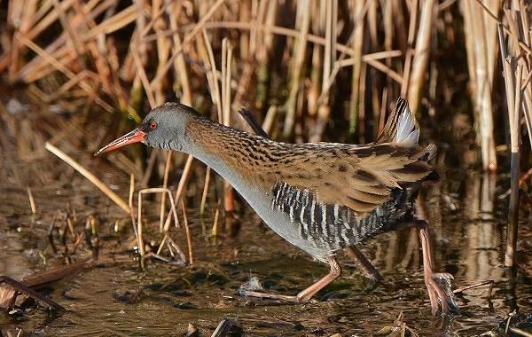 Птицы-болот-Описание-особенности-и-названия-птиц-живущих-на-болоте-38