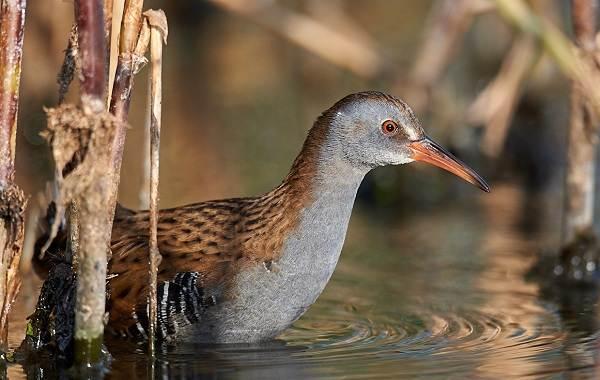 Птицы-болот-Описание-особенности-и-названия-птиц-живущих-на-болоте-39