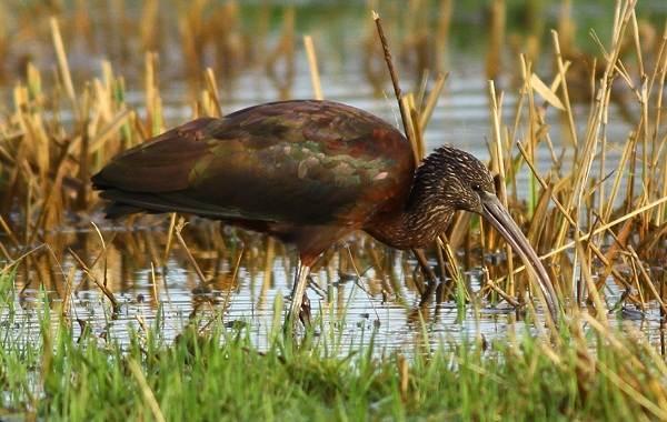 Птицы-болот-Описание-особенности-и-названия-птиц-живущих-на-болоте-4