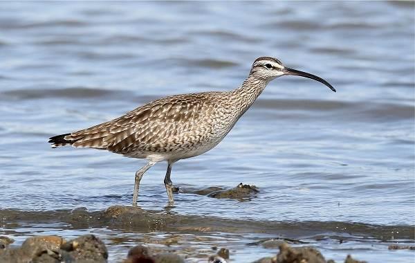 Птицы-болот-Описание-особенности-и-названия-птиц-живущих-на-болоте-40