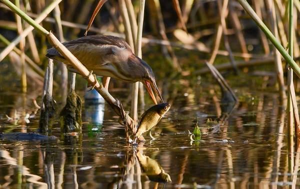 Птицы-болот-Описание-особенности-и-названия-птиц-живущих-на-болоте-41