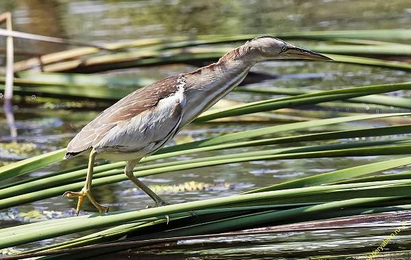 Птицы-болот-Описание-особенности-и-названия-птиц-живущих-на-болоте-42