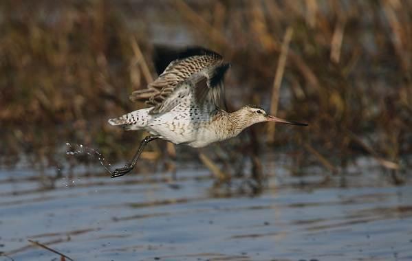 Птицы-болот-Описание-особенности-и-названия-птиц-живущих-на-болоте-43