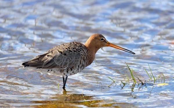 Птицы-болот-Описание-особенности-и-названия-птиц-живущих-на-болоте-44