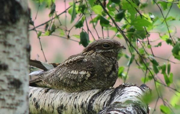 Птицы-болот-Описание-особенности-и-названия-птиц-живущих-на-болоте-51