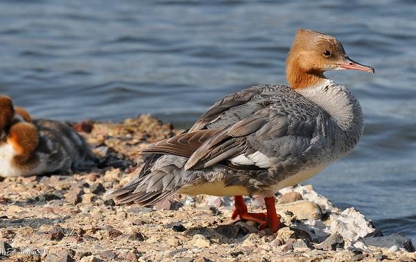 Птицы-болот-Описание-особенности-и-названия-птиц-живущих-на-болоте-53-1