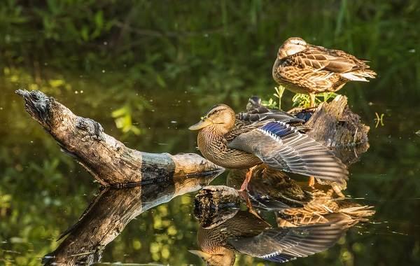 Птицы-болот-Описание-особенности-и-названия-птиц-живущих-на-болоте-54