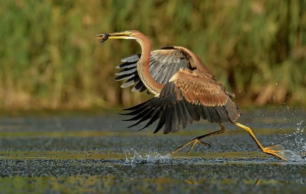 Птицы-болот-Описание-особенности-и-названия-птиц-живущих-на-болоте-6