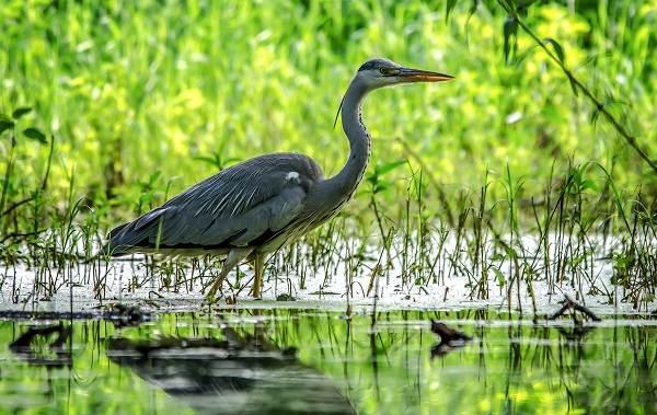 Птицы-болот-Описание-особенности-и-названия-птиц-живущих-на-болоте-7