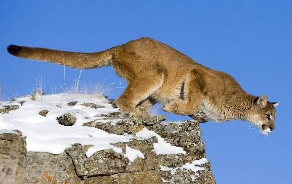 Пума-животное-Описание-особенности-виды-образ-жизни-и-среда-обитания-пумы-1