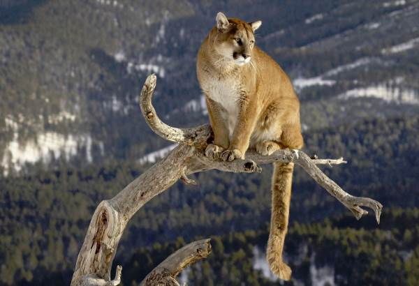 Пума-животное-Описание-особенности-виды-образ-жизни-и-среда-обитания-пумы-2