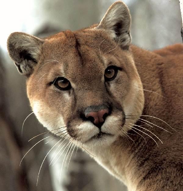 Пума-животное-Описание-особенности-виды-образ-жизни-и-среда-обитания-пумы-3