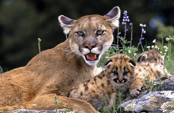 Пума-животное-Описание-особенности-виды-образ-жизни-и-среда-обитания-пумы-6