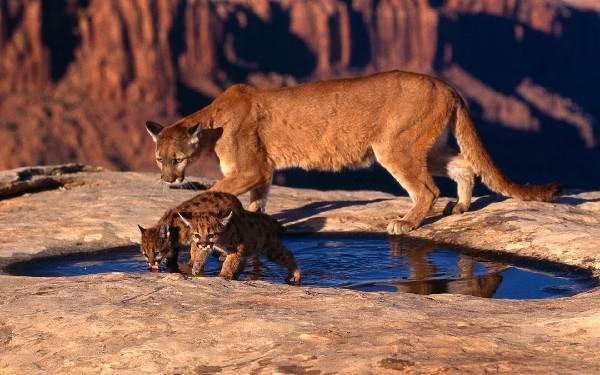 Пума-животное-Описание-особенности-виды-образ-жизни-и-среда-обитания-пумы-7