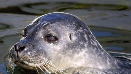 Тюлень животное. Описание, особенности, виды, образ жизни и среда обитания тюленя