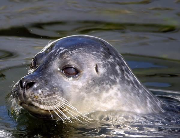 Тюлень-животное-Описание-особенности-виды-образ-жизни-и-среда-обитания-тюленя-1