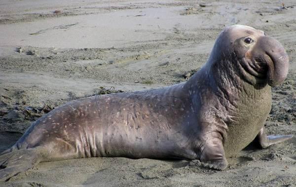 Тюлень-животное-Описание-особенности-виды-образ-жизни-и-среда-обитания-тюленя-10