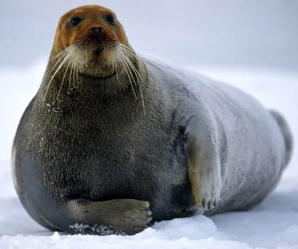 Тюлень-животное-Описание-особенности-виды-образ-жизни-и-среда-обитания-тюленя-11
