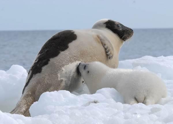 Тюлень-животное-Описание-особенности-виды-образ-жизни-и-среда-обитания-тюленя-14