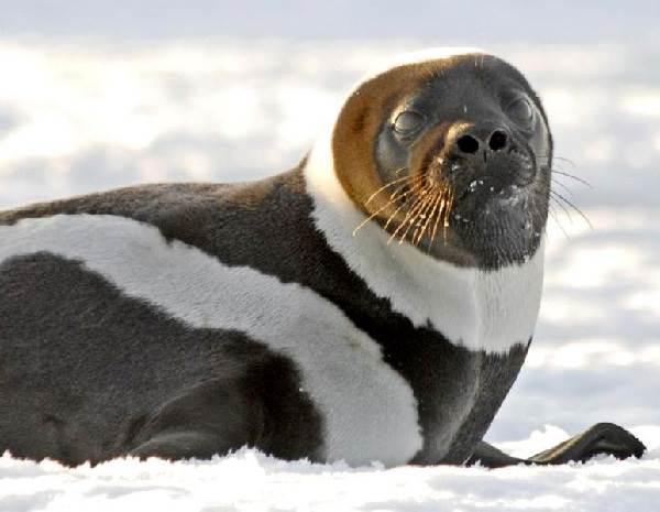 Тюлень-животное-Описание-особенности-виды-образ-жизни-и-среда-обитания-тюленя-8