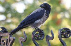 Ворона птица. Описание, особенности, образ жизни и среда обитания вороны