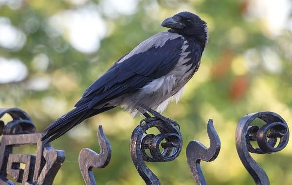 Ворона-птица-Описание-особенности-образ-жизни-и-среда-обитания-вороны-1