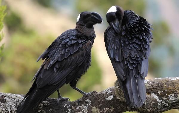 Ворона-птица-Описание-особенности-образ-жизни-и-среда-обитания-вороны-11