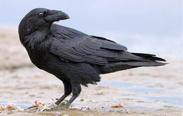 Ворона-птица-Описание-особенности-образ-жизни-и-среда-обитания-вороны-12