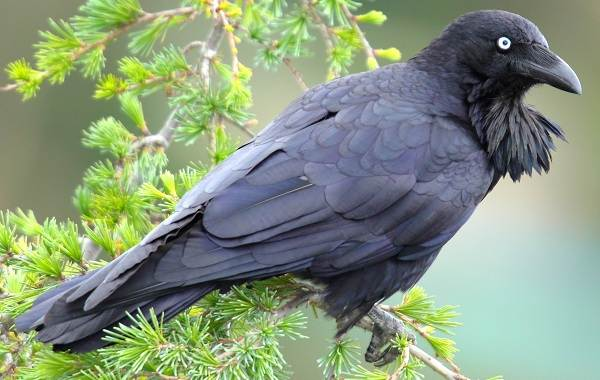 Ворона-птица-Описание-особенности-образ-жизни-и-среда-обитания-вороны-13