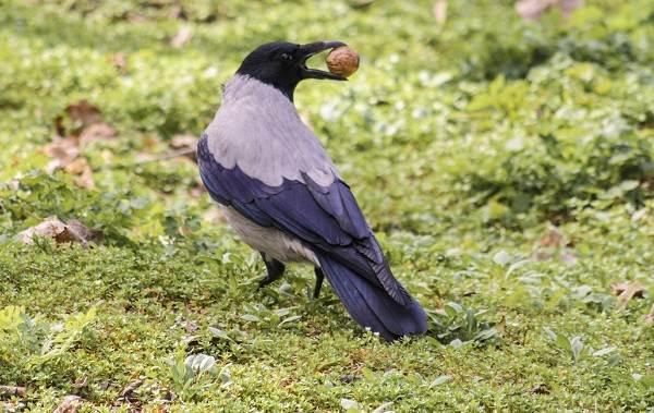 Ворона-птица-Описание-особенности-образ-жизни-и-среда-обитания-вороны-2