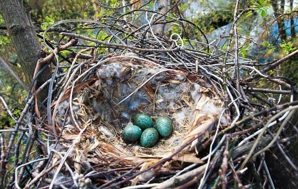 Ворона-птица-Описание-особенности-образ-жизни-и-среда-обитания-вороны-20