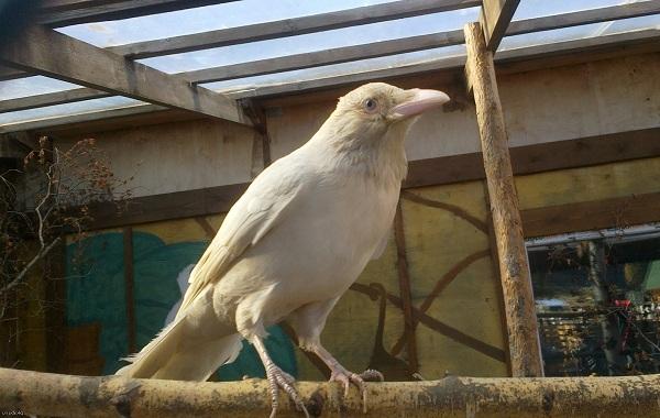 Ворона-птица-Описание-особенности-образ-жизни-и-среда-обитания-вороны-21