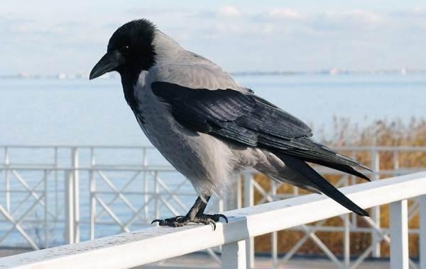 Ворона-птица-Описание-особенности-образ-жизни-и-среда-обитания-вороны-4