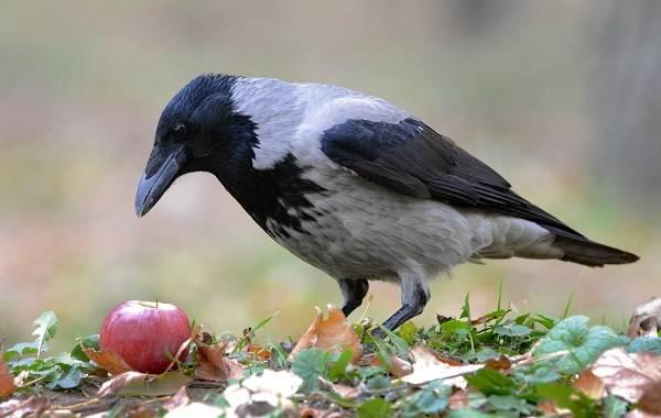 Ворона-птица-Описание-особенности-образ-жизни-и-среда-обитания-вороны-5