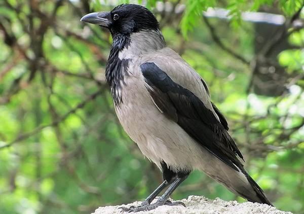 Ворона-птица-Описание-особенности-образ-жизни-и-среда-обитания-вороны-6