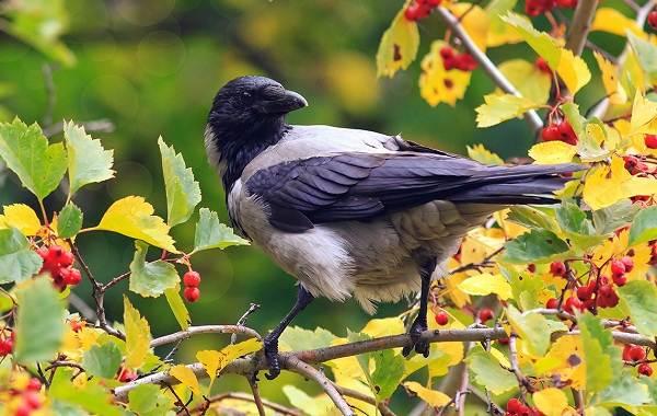 Ворона-птица-Описание-особенности-образ-жизни-и-среда-обитания-вороны-7