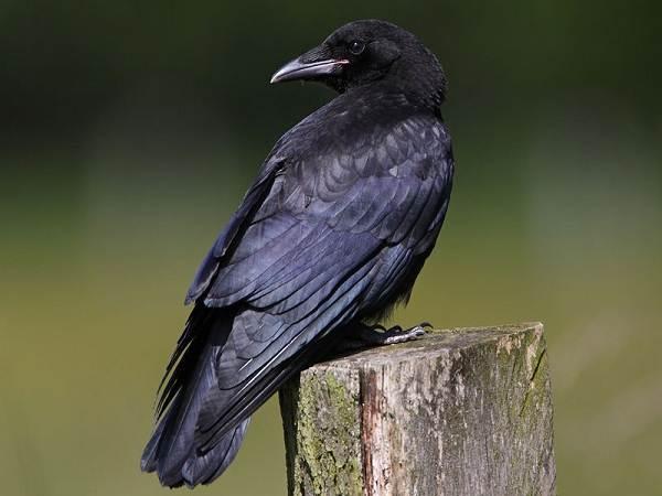 Ворона-птица-Описание-особенности-образ-жизни-и-среда-обитания-вороны-8